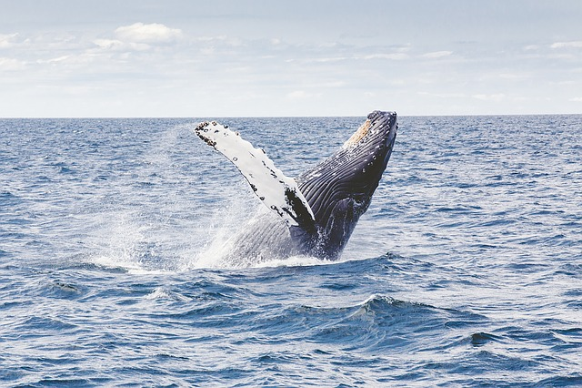 whale breaching the water surface
